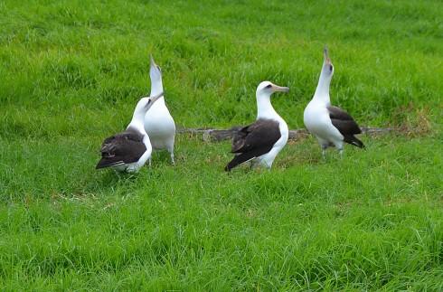 Albatross display on 16