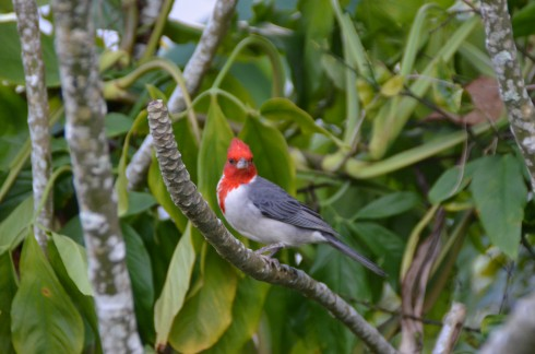 Red-Faced Cardinal