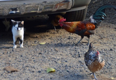 The Chicken Telling Off the Cat