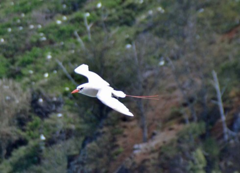 Tropicbird – Kilauea Point