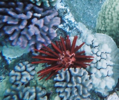 Red Spiny Urchin with Brain Coral
