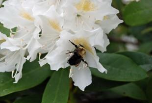 Bee in rhodo