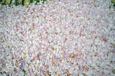 Cherry petals, Haarlem