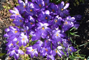 early crocii