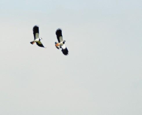 Aerobatic courting lapwings