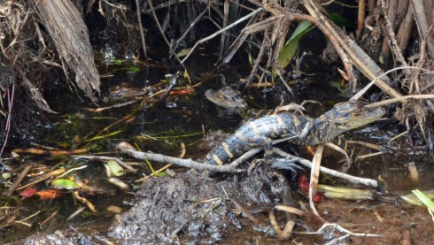 Loxahatchee baby gators