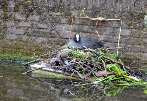 Coot on her nest in Delft canal