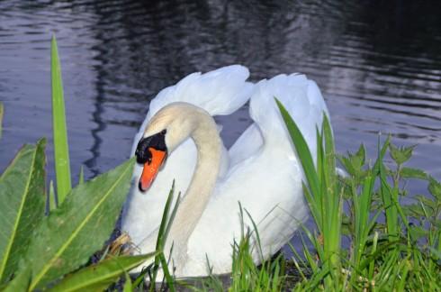 Dutch swan