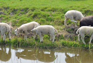 Lamb reflections