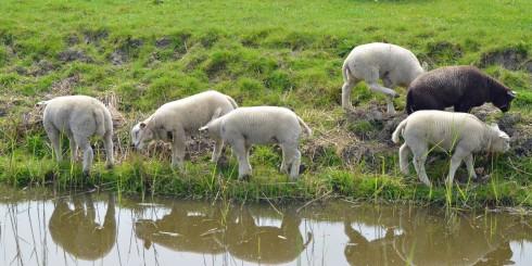 Lamb reflections
