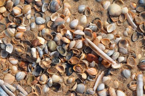 Castricum Beach shells