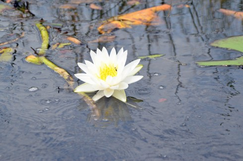 Loxahatchee Water Lily