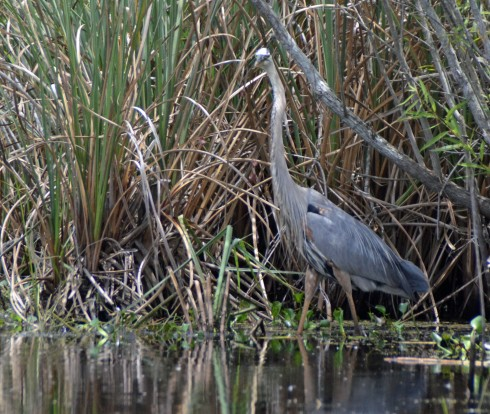 Well camouglaged Great Blue Heron