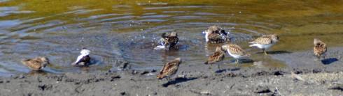 Oak Island sandpipers