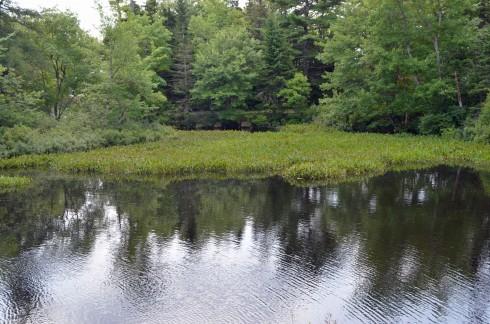 Pickerel Weed Pond