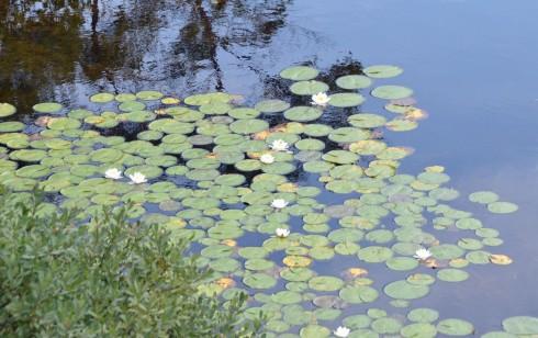 Water Lilies in Five Island Lake
