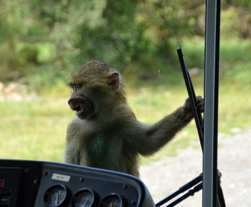 Baboon on the Bus
