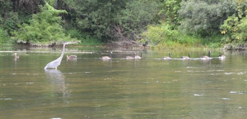 Blue Heron, Geese and Ducks