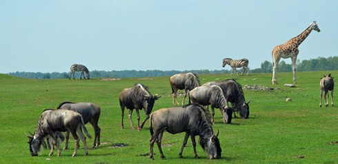 Wildebeest, Giraffe and Zebra