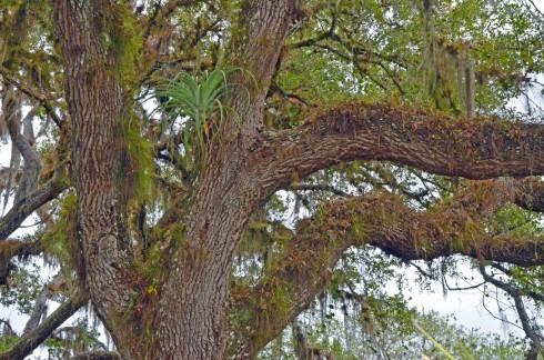 Live Oak with Bromeliad