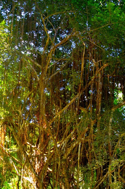 Bearded Fig Tree, Flower Forest, Barbados