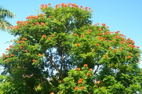 Flame of the Forest Tree, Flower Forest, Barbados