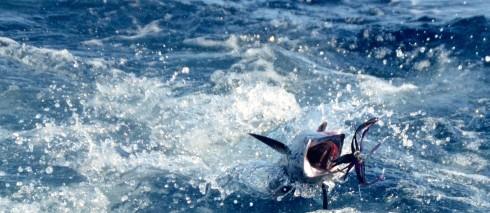 It's a Wahoo! - Deep Sea Fishing in Barbados