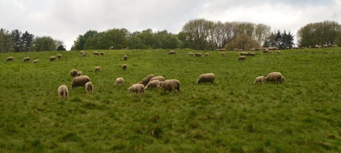 Sheep in danger at Beaumont Hamel