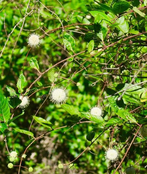 Button Bush at Six Mile Cypress