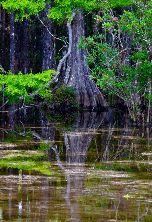 Reflections in Six Mile Cypress
