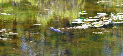 Alligator in Six Mile Cypress