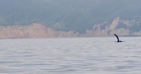 Humpbacked whale off Santa Cruz Island