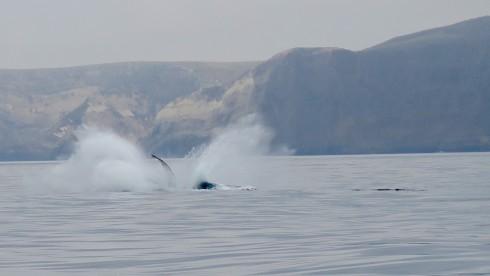 Breaching Humpbacked Whale off Santa Cruz Island