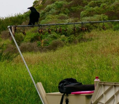 Raven on Santa Cruz Island