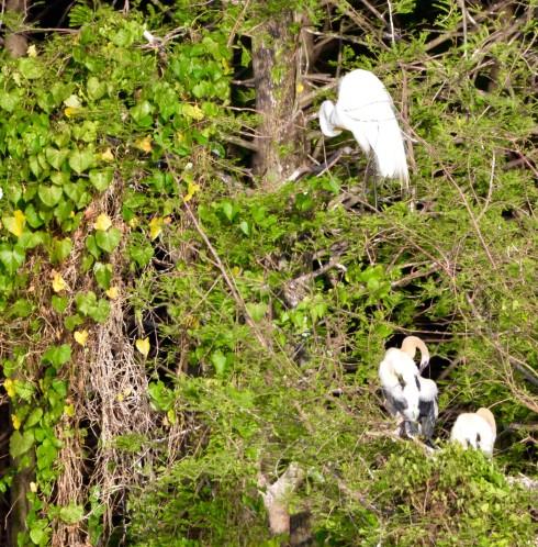 Preening Egrets at Six Mile Cypress