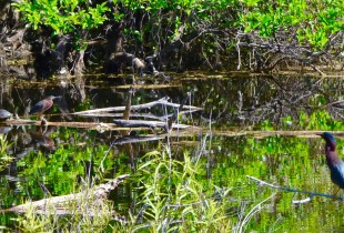Herons and Turtles in Six Mile Cypress