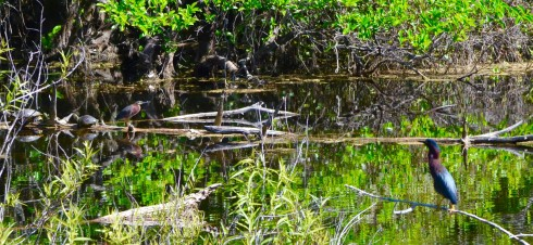 Herons and Turtles in Six Mile Cypress