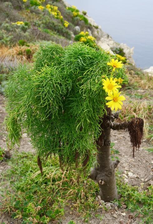 Giant coreopsis are native to Santa Cruz Island