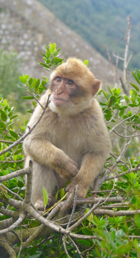 Cute Rock of Gibraltar Macaque