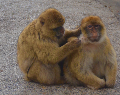 Macaques grooming on the Rock of Gibraltar