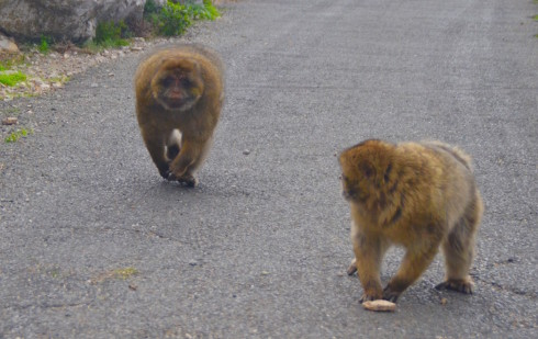 Fat macaques on the Rock of Gibraltar