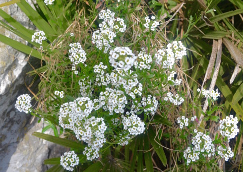 Alyssum on the Rock of Gibraltar