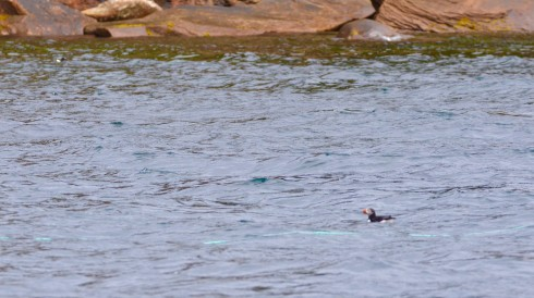 Floating Puffin at Bird Islands Nova Scotia