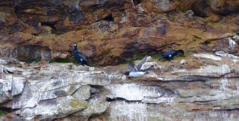 Great Cormorants 2