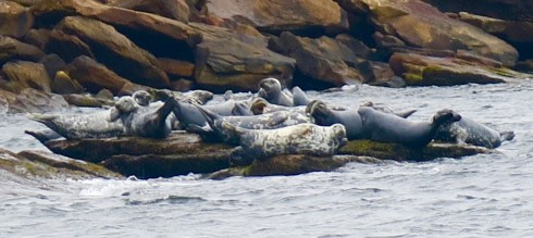 Grey Seals on Ciboux