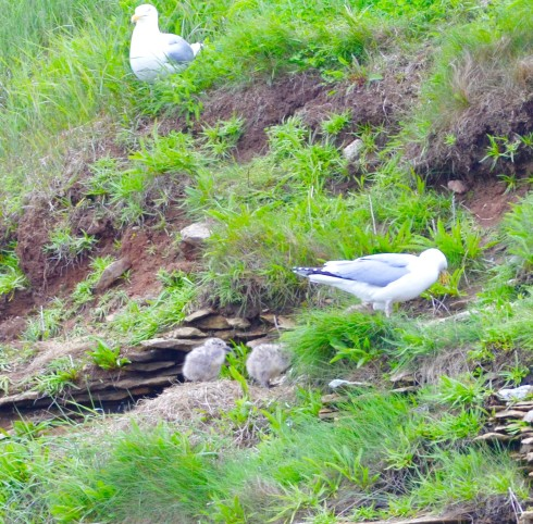 Herring Gull with Chicks