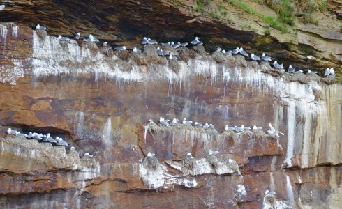 Kittiwake Nests on Bird Islands Nova Scotia
