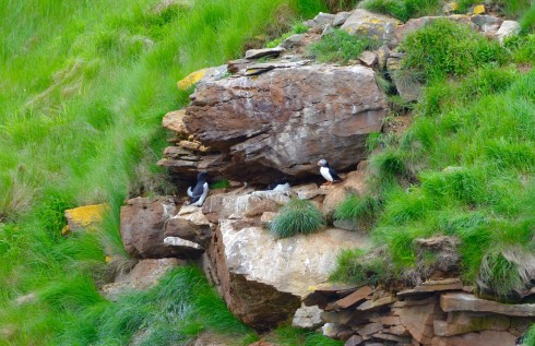 Puffin with Razorbills
