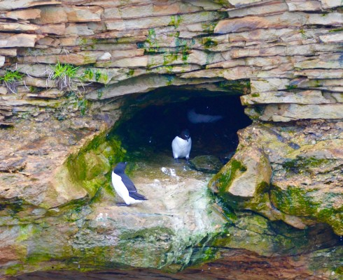 Razorbills in Hole