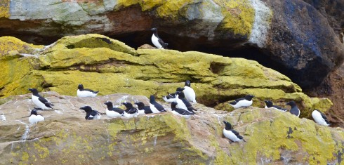 Razorbills on Bird Islands Nova Scotia